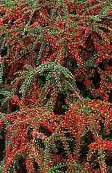 Berries of Cotoneaster horizontalis