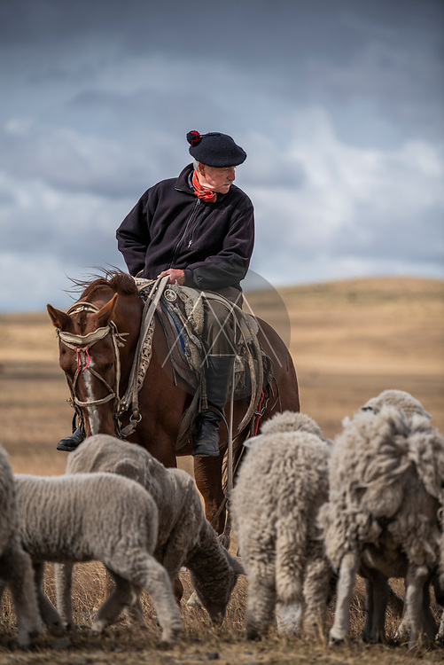 Punta Arenas, Chile - 06 February 2019: View of a typical and traditional Gaucho with his sheep herd in Patagonia, Chile.