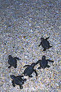 Kemp's ridley sea turtle hatchlings, <br /> Lepidochelys kempii (c-r),  crawl toward <br /> ocean after release from hatchery,<br /> Rancho Nuevo Mexico ( Gulf of Mexico )