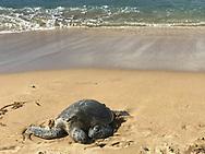 A green sea turtle (honu) rests on a sandy Kahana beach on Jan. 7, 2018, in Maui, Hawaii. The species is considered threatened. (© 2018 Cindi Christie/Cyanpixel)