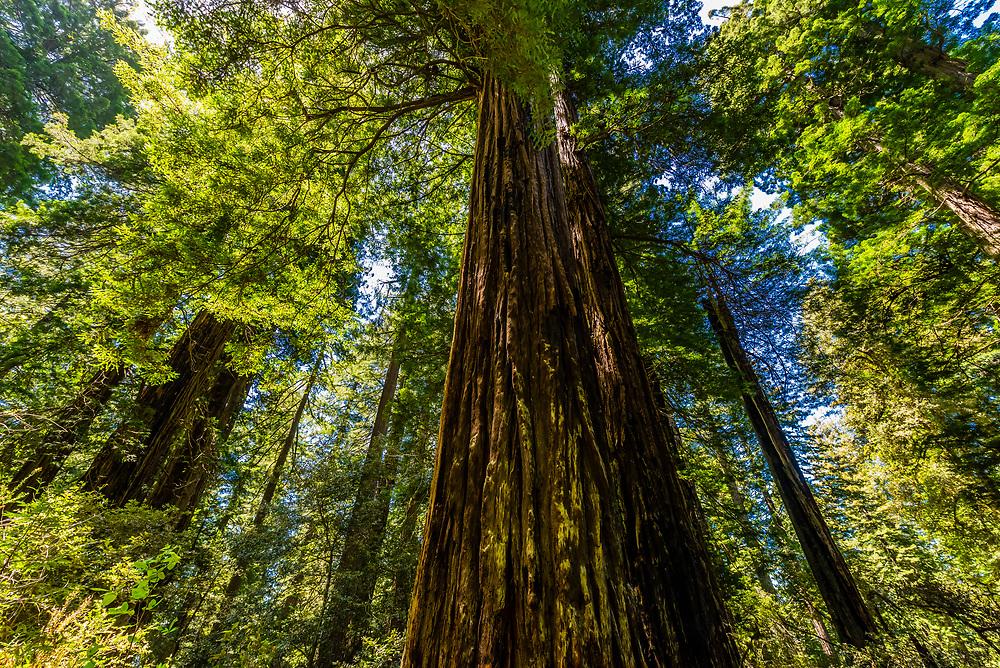 Massive redwood tress along the Lady Bird Johnson Grove trail in Redwoods National Park, near Orick, California USA.