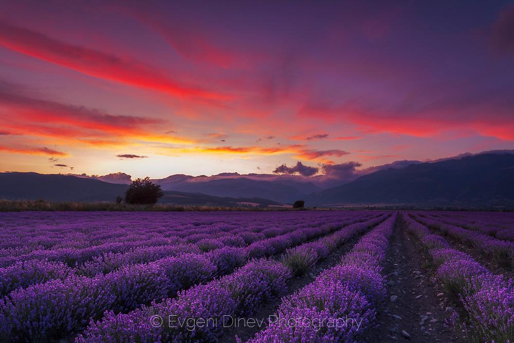 A splendid lavender field at sunset