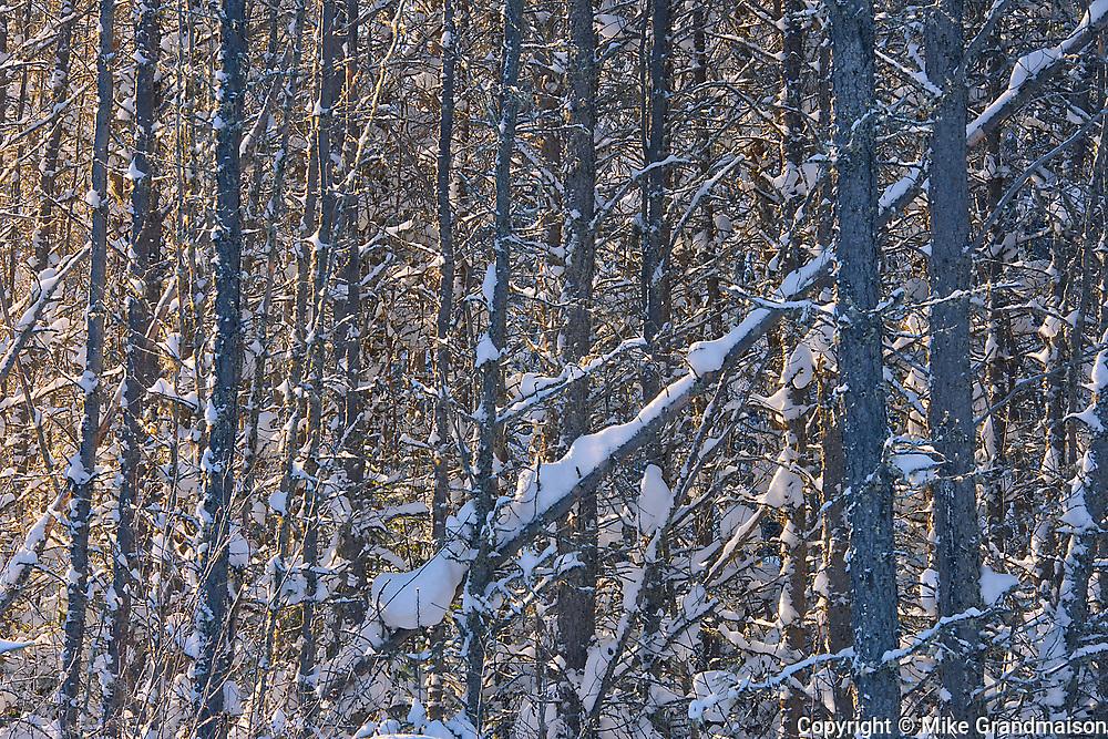 SNow on trees<br />Ear Falls<br />Ontario<br />Canada