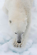 View from above of a polar bear (Ursus maritimus) on the pack ice on the Arctic ocean at 81* north of the Svalbard islands, that approached the cruise ship to take a closer look.