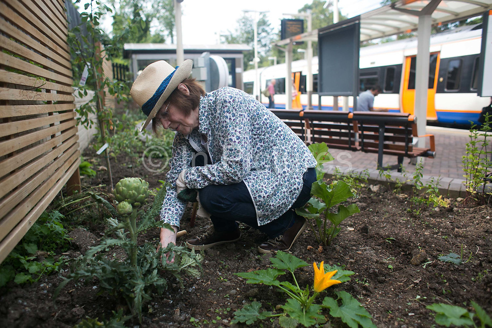Shelagh checks an artichoke for bugs 28th July 2016, London, United Kingdom. Shelagh Molloy, a local resident to Brondesbury Park Stations puts in a few hours of work in the newly finished Energy Garden, watering and weeding. The water is collected rain water and the pump is solar panel powered. Energy Gardens is a pan-London community garden project where reclaimed land alongside over ground train stations and track are cultivated by local community groups. Up 50 gardens are projected with the rail network being the connection grid. The project is a collaboration between Repowering London, Groundwork, local community groups, station managers working for Transport For London and Network Rail.
