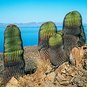 Giant barrel cacti (Ferrocactus diguetti) on Isla Santa Catalina, the Sea of Cortez and  Baja Penisnsula, Mexico.