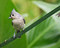Tufted Titmouse. Image taken with a Fuji X-T4 camera and 100-400 mm OIS lens.