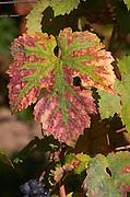 Vine leaf. Domaine des Baumard, Rochefort, Anjou, Loire, France