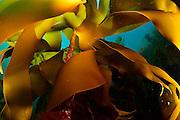 Kelp forest (Laminaria hyperborea), Atlantic Ocean, North West Norway | Ein Kelpwald oder Algenwald, der  hauptsächlich vom Palmentang (Laminaria hyperborea) gebildet wird. Norwegen
