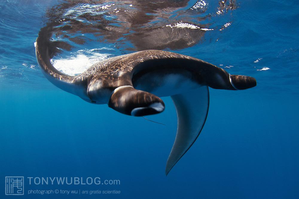 Juvenile manta ray swimming along the ocean surface