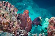 multibar goatfish, , Parupeneus multifasciatus, follows day octopus, or common reef octopus, Octopus cyanea, hoping to snatch small prey flushed out of reef by octopus, Kohanaiki, Kaloko Honokohau, Kona, Hawaii Island ( the Big Island ), Hawaiian Islands, U.S.A. ( Central Pacific Ocean )