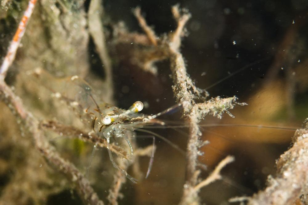 Shrimp Hiding in mangrove roots, Tampa Bay, Florida (2012).