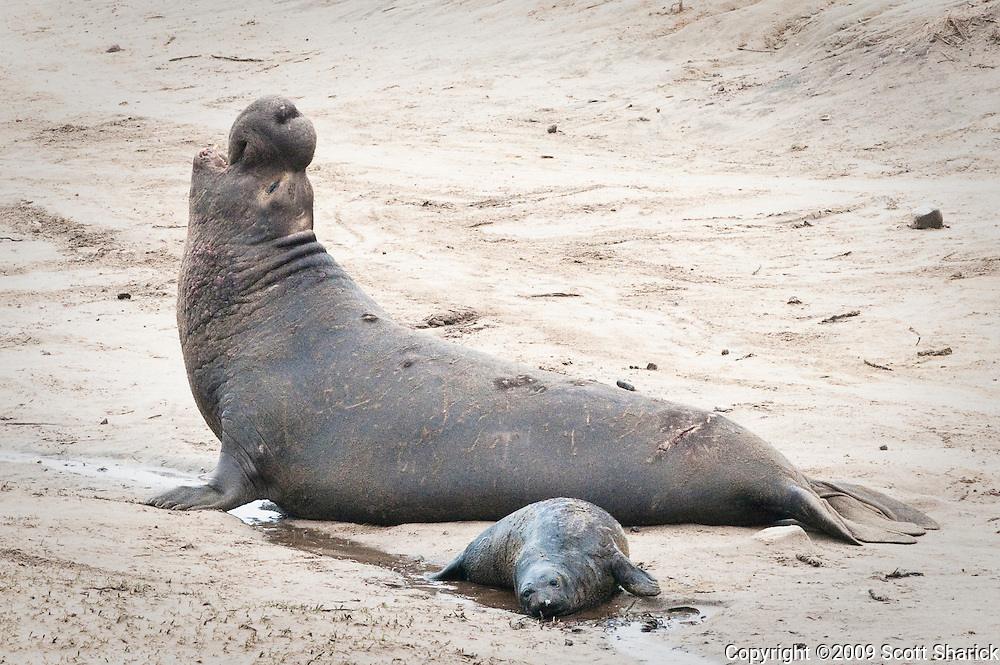 A baby elephant seal and an adult bull seal in the sand at Ano Nueveo State Park in California.