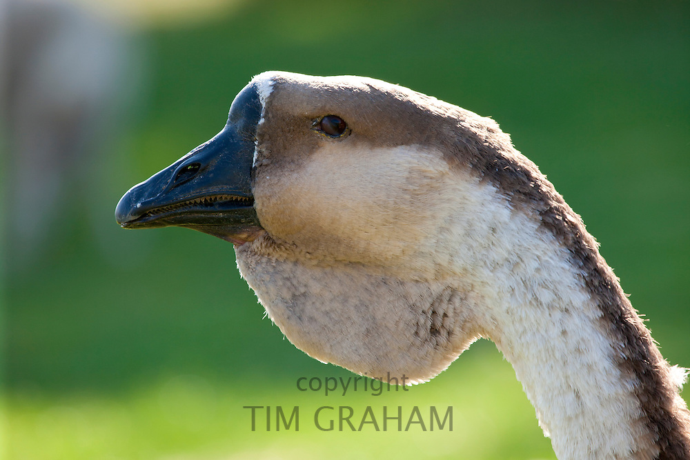 African Geese at the Cotswold Farm Park at Guiting Power in the Cotswolds, Gloucestershire, UK
