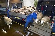 Nederland, Elsendorp, 15-10-2013Turken halen hun geslachtte schaap op bij slagerij Vogels om het offerfeest te vieren. Schapen worden aangevoerd en komen langs een stapel huiden van pas geslachtte dieren.Slachtafval wordt later door afvalverwerker Rendac opgehaald.Foto: Flip Franssen/Hollandse Hoogte