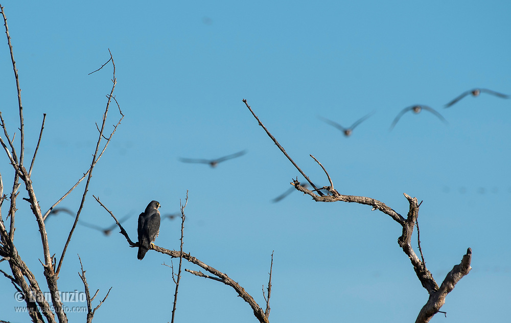 A Peregrine Falcon, Falco peregrinus, perches in a tree as a flock of geese passes in the background in Sacramento National Wildlife Refuge, California
