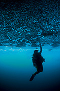 A diver reaches up to touch the ceiling of an undercut, caused by wave erosion, Raja Ampat, West Papua, Indonesia