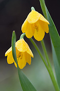 Yellow bell wildflower (Fritillaria pudica) May, Methow River Valley, Okanogan County, Washington, USA
