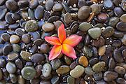 Pink Plumeria on Wet Rocks