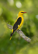 Golden Oriole - Oriolus oriolus - male. L 22-24cm. Stunning and unmistakable but heard more often than it is seen. Sexes are dissimilar. Adult male has mainly bright yellow plumage with black on wings and tail. Bill is red. Adult female is similar but duller and paler below, with some streaking. Juvenile is similar to adult female but upperparts are green and underparts are more heavily streaked. Voice Song is fluty and tropical-sounding wee-lo- weeow. Utters harsh cat-like calls in alarm. Status Regular passage migrant and scarce breeder; nests in poplar plantations in E Anglia.