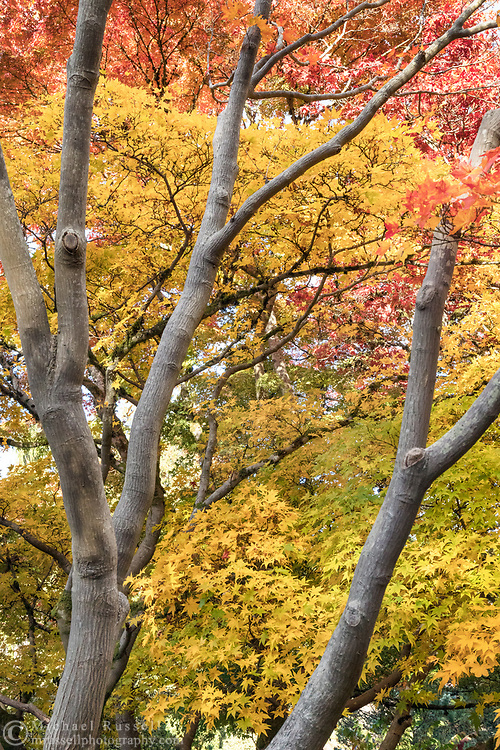 Japanese Maple trees (Acer japonica) turn yellow, orange, and red in the Quarry Gardens at Queen Elizabeth Park in Vancouver, British Columbia, Canada.