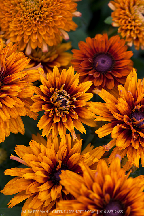 """Cherokee Sunset Gloriosa Daisies, (Rudbeckia hirta 'Cherokee Sunset'). Double and semi-double 3-4"""" flowers in 'sunset' shades of yellow, orange, red, bronze, russet and mahogany; some bicolor.  2002 All America Winner.  A beautiful cut flower or border plant. 16-20"""" high. The plants self-seed readily."""