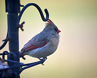 Female Northern Cardinal. Image taken with a Nikon D5 camera and 600 mm f/4 VR lens (ISO 1000, 600 mm, f/4, 1/1250 sec).