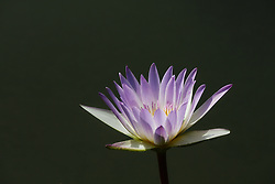Water Lily, Purple #15