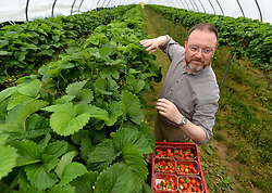 Pictured: Member of the Scottish Affairs Committee David Duguid, Conservative MP for Banff and Buchan, visited the fruit farm and picked strawberries.<br /> <br /> Members of the Scottish Affairs Select Committee of Parliament visited West Jordan Stone fruit farm in rural Perthshire to see first hand the effects of reduced numbers of foreign workers coming in to pick fruit and other seasonal jobs, meaning tons of fruit has been left to rot on the plants.<br /> <br /> © Dave Johnston/ EEm