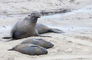 Elephant seals along the California Coast at Ano Nuevo State Park