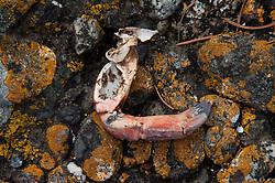 Crab Leg on Rocks with Yellow  Lichen, Gossip Island, San Juan Islands, Washington, US