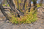 New Growth grows out of a burnt stump of an Eucalyptus tree