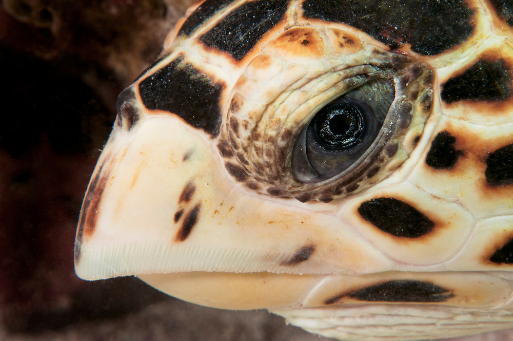Close up of the face of a hawksbill sea turtle (Eretmochelys imbricata) underwater in The Bahamas.