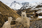 Alpaca, herded by the traditional Q'eros people, in the Cordillera de Paucartambo, Andes Mountains, Peru.
