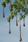 Crested Oropendola Nests (Psarocolius decumanus)<br /> Savannah<br /> Rupununi<br /> GUYANA. South America<br /> RANGE: South America east of the Andes, from Panama and Colombia south to northern Argentina, as well as on Trinidad and Tobago.