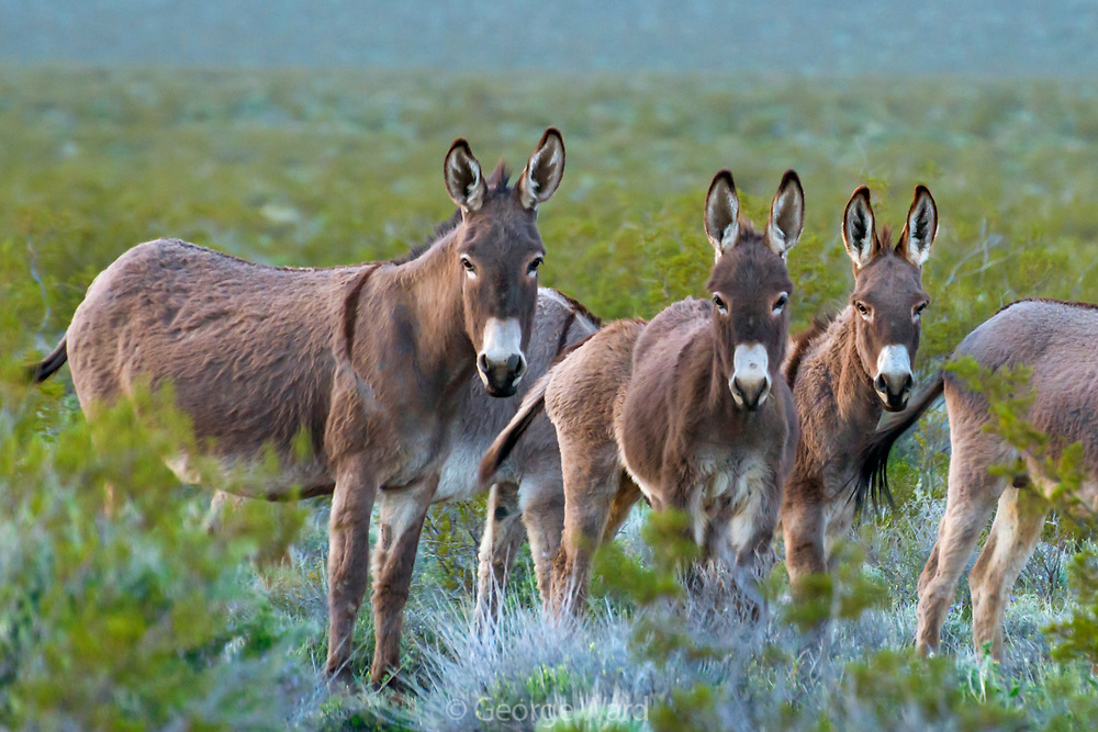 Burros, Descendants of Nineteenth Century Gold Miners, Death Valley National Park, California