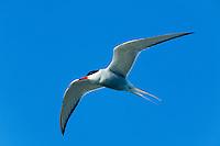 24.04.2009<br /> Arctic tern (sterna paradisaea) sarki csér<br /> Hallig Hooge, Germany