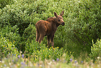 While driving back from a hike I came across a moose calf and mother. The area near Highway 14A in the Bighorn Mountains is one of the best places to see moose, I saw 7 that evening.