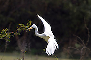 Intermediate Egret - Ardea intermedia