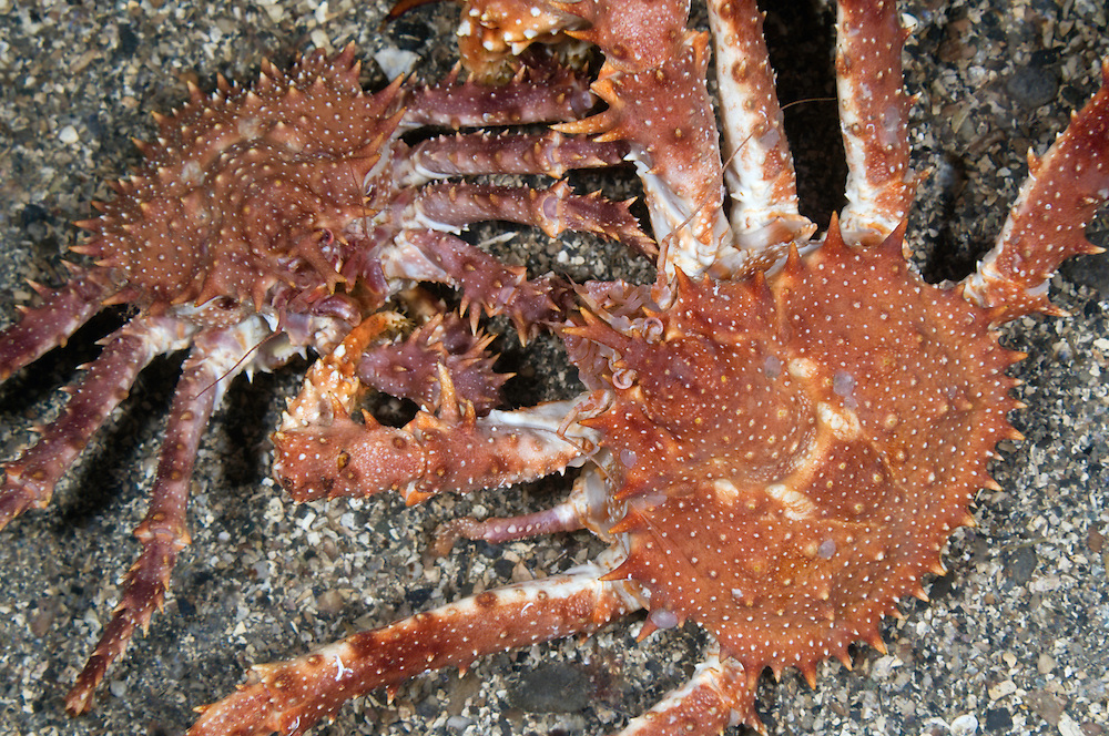 Northern stone crab, Lithodes maja, Trondheimsfjorden, Norway