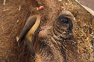 Common Warthog (Phacochoerus africanus), with a Red-billed Oxpecker (Buphagus erythrorhynchus) eating its ticks and other parasites, Zimanga Private Nature Reserve, KwaZulu Natal, South Africa