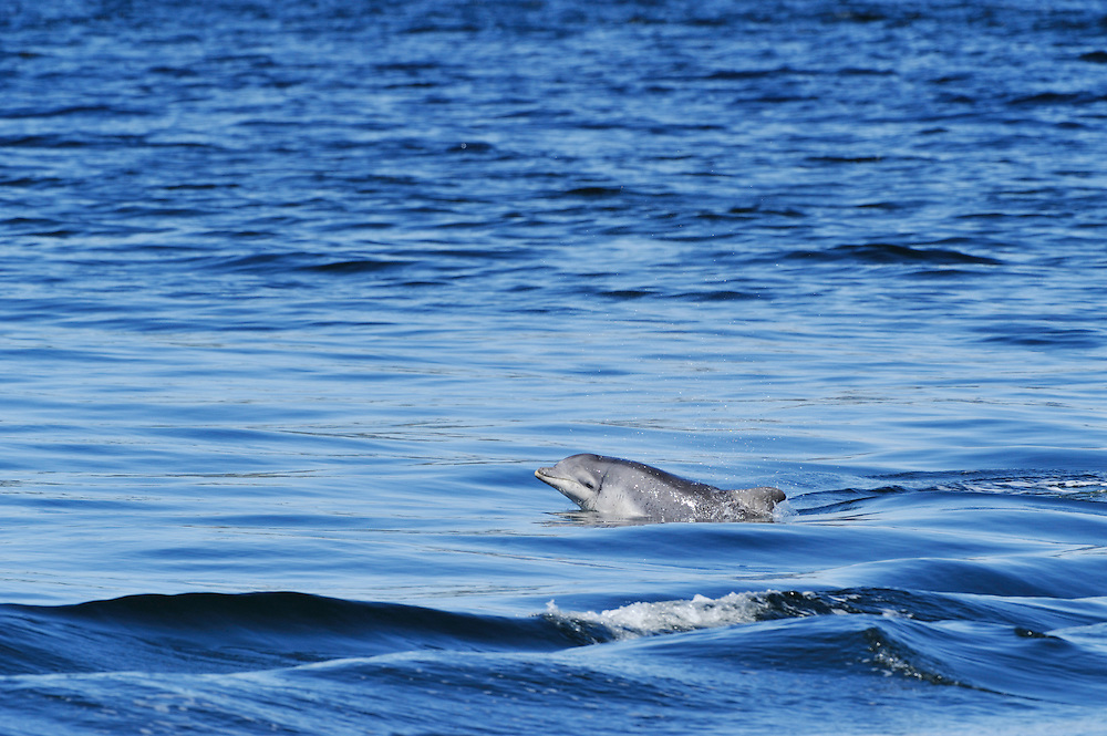 Bottle-nosed Dolphin calf surfacing,<br /> Tursiops truncatus,<br /> Moray Firth, Nr Inverness, Scotland - May