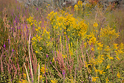 A variety of summer wildflowers, including goldenrod, wild teasel and purple loosestrife, grow near Crab Creek in the Columbia National Wildlife Refuge in Grant County, Washington.