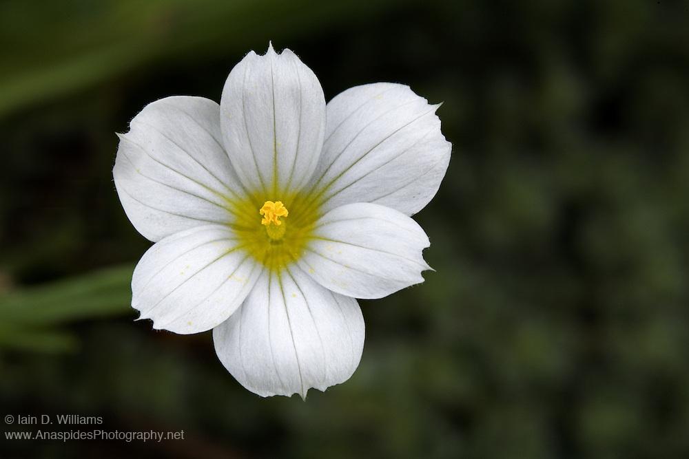 White Sisyrinchium - Tasmania