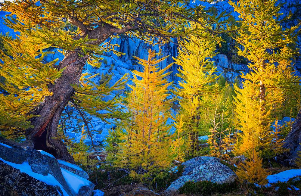 Larch trees at Enchantment Lakes