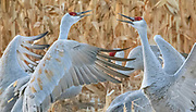 Sandhill Cranes (Grus canadensis), challenge each on their wintering grounds at Bosque del Apache National Wildlife Refuge, New Mexico.