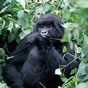 Mountain Gorilla, (Gorilla gorilla beringei) Female foraging in Volcanoes National Park. Rwanda. Africa.