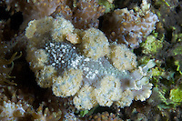 Unidentified Dermatobranchus Nudibranch