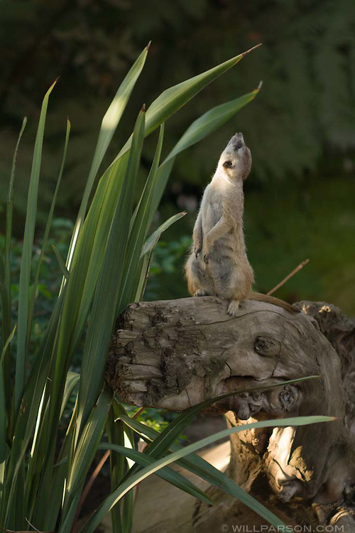 A meer cat stands guard at the San Diego Zoo