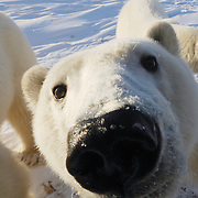 Polar Bear comes to investigate the camera cage on Buggy One at Gordon Point on the shores of Hudson Bay near Churchill, Manitoba.